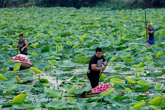 epa08446328 Men collect lotus flowers at a lake in Hanoi, Vietnam, 27 May 2020. Traditions sees for Vietnamese people use the inner parts of the lotus to mix with tea in oder to get a unique fragrance. Lotus flower season is usually from late May through to August.  EPA/LUONG THAI LINH