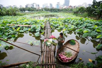 epa08446317 A man collects lotus flowers at a lake in Hanoi, Vietnam, 27 May 2020. Traditions sees for Vietnamese people use the inner parts of the lotus to mix with tea in oder to get a unique fragrance. Lotus flower season is usually from late May through to August.  EPA/LUONG THAI LINH