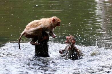 India, gruppo di scimmie ruba campioni per test coronavirus