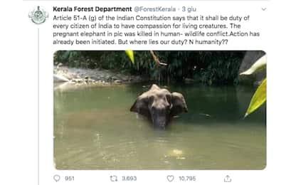 India, elefantessa morta dopo aver mangiato ananas pieno di petardi
