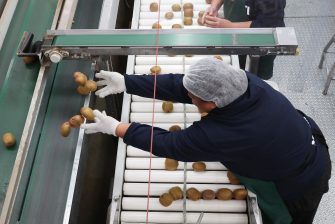 TAURANGA, NEW ZEALAND - JUNE 09: Workers grade kiwifruit at  Trevelyanâ  s Kiwifruit and Avocado Packhouse on June 09, 2020 in Tauranga, New Zealand. COVID-19 restrictions were lifted from midnight as New Zealand moved to COVID-19 Alert Level 1 as the government confirmed there are zero active cases in the country. The lifting of restrictions under Alert Level 1 will see life mostly return to normal in New Zealand, however strict border measures will remain with mandatory isolation and quarantine for any overseas arrivals. New Zealanders are also being asked to keep diaries in the event of a second wave of infections. (Photo by Michael Bradley/Getty Images)