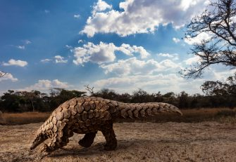 HARARE, ZIMBABWE, 24 JUNE 2018: A Temminck's Pangolin learns to forage again after being rescued from traffickers on the Zimbabwe/South Africa border. Pangolin caregivers at this anonymous farm care for rescued, illegally trafficked pangolins, helping them to find ants and termites to eat and keeping them safe from predators and poachers. This is one of only three true Pangolin rescue and rehabilitation sites in the world. Pangolins are the world's most illegally trafficked mammals, with an estimated one million being trafficked to Asia in the last ten year. Their scales are used in traditional Chinese and Vietnamese medicine and their meat is sold as a high-priced delicacy. As a result, pangolins are listed as critically endangered and all trade or consumption is illegal. The Tiki Hywood trust undertakes public awareness campaigns on Pangolins, trains law enforcement and judiciary personnel, conducts research, and rehabilitates pangolins that have been confiscated from the illegal trade. They are based in Zimbabwe but operate with partners across Africa and Asia.