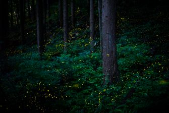"""""""Himebotaru is a type of firefly, measuring just six millimetres long, that lives in the forest. Both males and females emit a short burst of strong light, much like a flash - males at a rate of once per second and females once every two or three seconds. I've been researching the fireflies' habitat for seven years now - these pictures were taken in the mountains of Tottori, Japan, in June and July 2019. Exposure times ranged from 13 seconds to 10 minutes. The purpose of the project is to share this phenomenon with people in the hope that it will encourage them to protect these wonderful creatures. """""""