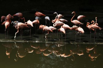 epa08501305 View of flamingos at the Cali Zoo, Colombia, 21 June 2020. On 21 June and after being closed for more than three months, the Cali Zoo is the first in Latin America to open its doors to the public again in the midst of the COVID-19 pandemic and under the strictest biosecurity measures.  EPA/Pablo Rodriguez