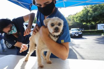 MISSION VIEJO, CALIFORNIA - JUNE 23: Veterinary technicians vaccinate a dog outside the vehicle at a drive-through pet vaccine clinic at Mission Viejo Animal Services Center amid the COVID-19 pandemic on June 23, 2020 in Mission Viejo, California. The vaccine clinic is usually conducted by walk-in but was held as a drive-through for safety reasons as the spread of the coronavirus continues. Some dogs were vaccinated inside their owner's vehicles while other dogs and cats received their vaccines outside the car.  (Photo by Mario Tama/Getty Images)