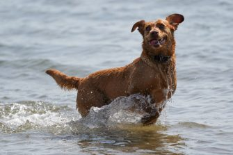 REDCAR, UNITED KINGDOM - JUNE 24: A dog plays in the sea with its owner at South Gare near Redcar as people enjoy the hot weather on June 24, 2020 in Redcar, United Kingdom. A summer heatwave is expected across the country this week with weather warnings issued in some places for thunderstorms. (Photo by Ian Forsyth/Getty Images)