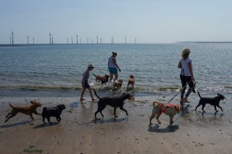 REDCAR, UNITED KINGDOM - JUNE 24: Professional dog walkers take their dogs for a walk along the beach at South Gare near Redcar as people enjoy the hot weather on June 24, 2020 in Redcar, United Kingdom. A summer heatwave is expected across the country this week with weather warnings issued in some places for thunderstorms. (Photo by Ian Forsyth/Getty Images)