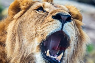 SYDNEY, AUSTRALIA - JUNE 28: A lion is seen showing his teeth during the opening of the African Savannah precinct at Taronga Zoo on June 28, 2020 in Sydney, Australia. The new African Savannah precinct features roaming lions, fennec foxes, meerkats, giraffe and zebra. It is the first time lions have been on display at Taronga Zoo since 2015. (Photo by Jenny Evans/Getty Images)