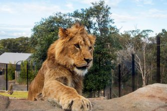 SYDNEY, AUSTRALIA - JUNE 28: A lion is seen during the opening of the African Savannah precinct at Taronga Zoo on June 28, 2020 in Sydney, Australia. The new African Savannah precinct features roaming lions, fennec foxes, meerkats, giraffe and zebra. It is the first time lions have been on display at Taronga Zoo since 2015. (Photo by Jenny Evans/Getty Images)