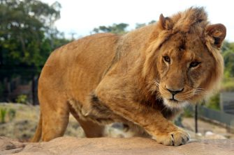 SYDNEY, AUSTRALIA - JUNE 28: A lion is seen roaming inside its enclosure during the opening of African Savannah precinct at Taronga Zoo on June 28, 2020 in Sydney, Australia. The new African Savannah precinct features roaming lions, fennec foxes, meerkats, giraffe and zebra. It is the first time lions have been on display at Taronga Zoo since 2015. (Photo by Don Arnold/WireImage)