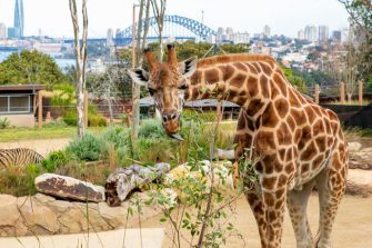 SYDNEY, AUSTRALIA - JUNE 28: A giraffe is seen with the Sydney Harbour Bridge in the background during the opening of the African Savannah precinct at Taronga Zoo on June 28, 2020 in Sydney, Australia. The new African Savannah precinct features roaming lions, fennec foxes, meerkats, giraffe and zebra. It is the first time lions have been on display at Taronga Zoo since 2015. (Photo by Jenny Evans/Getty Images)