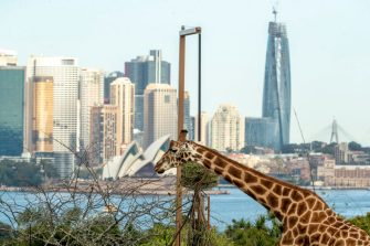 SYDNEY, AUSTRALIA - JUNE 28: A giraffe is seen with the Sydney skyline in the background during the opening of the African Savannah precinct at Taronga Zoo on June 28, 2020 in Sydney, Australia. The new African Savannah precinct features roaming lions, fennec foxes, meerkats, giraffe and zebra. It is the first time lions have been on display at Taronga Zoo since 2015. (Photo by Jenny Evans/Getty Images)