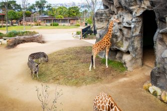 SYDNEY, AUSTRALIA - JUNE 28: Giraffes and zebras are seen during the opening of the African Savannah precinct at Taronga Zoo on June 28, 2020 in Sydney, Australia. The new African Savannah precinct features roaming lions, fennec foxes, meerkats, giraffe and zebra. It is the first time lions have been on display at Taronga Zoo since 2015. (Photo by Jenny Evans/Getty Images)