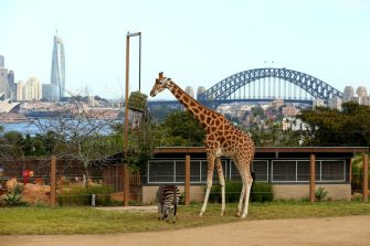 SYDNEY, AUSTRALIA - JUNE 28: A  zebra and giraffe are seen during the opening of African Savannah precinct at Taronga Zoo on June 28, 2020 in Sydney, Australia. The new African Savannah precinct features roaming lions, fennec foxes, meerkats, giraffe and zebra. It is the first time lions have been on display at Taronga Zoo since 2015. (Photo by Don Arnold/WireImage)
