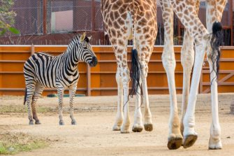 SYDNEY, AUSTRALIA - JUNE 28: A zebra is seen beside the legs of giraffes during the opening of the African Savannah precinct at Taronga Zoo on June 28, 2020 in Sydney, Australia. The new African Savannah precinct features roaming lions, fennec foxes, meerkats, giraffe and zebra. It is the first time lions have been on display at Taronga Zoo since 2015. (Photo by Jenny Evans/Getty Images)