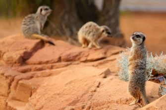 SYDNEY, AUSTRALIA - JUNE 28: Meerkats are seen during the opening of African Savannah precinct at Taronga Zoo on June 28, 2020 in Sydney, Australia. The new African Savannah precinct features roaming lions, fennec foxes, meerkats, giraffe and zebra. It is the first time lions have been on display at Taronga Zoo since 2015. (Photo by Don Arnold/WireImage)