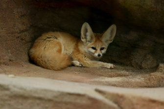 SYDNEY, AUSTRALIA - JUNE 28: A fennec fox is seen during the opening of African Savannah precinct at Taronga Zoo on June 28, 2020 in Sydney, Australia. The new African Savannah precinct features roaming lions, fennec foxes, meerkats, giraffe and zebra. It is the first time lions have been on display at Taronga Zoo since 2015. (Photo by Don Arnold/WireImage)
