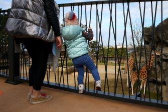 SYDNEY, AUSTRALIA - JUNE 28: A young girl is seen looking at giraffes during the opening of African Savannah precinct at Taronga Zoo on June 28, 2020 in Sydney, Australia. The new African Savannah precinct features roaming lions, fennec foxes, meerkats, giraffe and zebra. It is the first time lions have been on display at Taronga Zoo since 2015. (Photo by Don Arnold/WireImage)