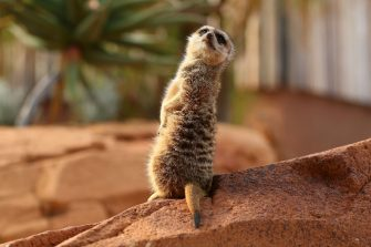 SYDNEY, AUSTRALIA - JUNE 28: A meerkat is seen during the opening of African Savannah precinct at Taronga Zoo on June 28, 2020 in Sydney, Australia. The new African Savannah precinct features roaming lions, fennec foxes, meerkats, giraffe and zebra. It is the first time lions have been on display at Taronga Zoo since 2015. (Photo by Don Arnold/WireImage)
