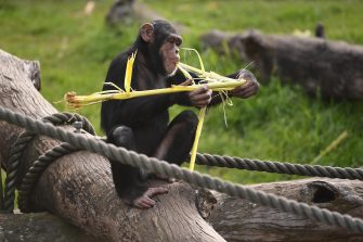 epa08513396 A chimpanzee in an enclosure during the official opening of the African Savannah Precinct at Taronga Zoo in Sydney, Australia, 28 June 2020.  EPA/JOEL CARRETT AUSTRALIA AND NEW ZEALAND OUT