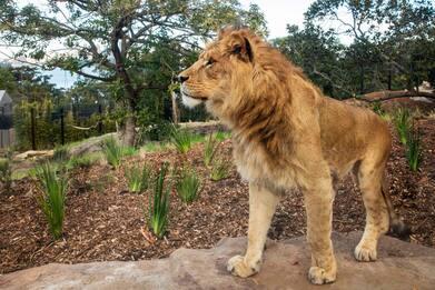 Allo zoo di Sydney un settore dedicato alla savana: tornano i leoni
