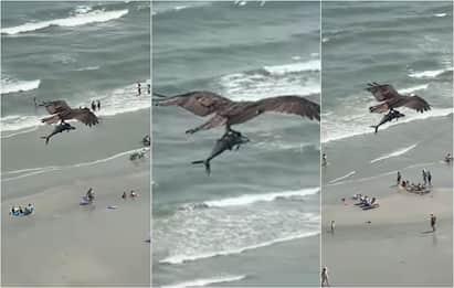 Aquila cattura squalo? No, ma il video del falco pescatore è virale