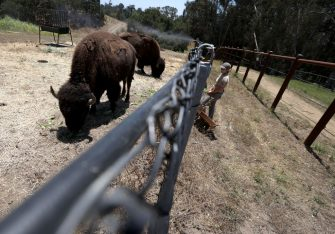 OAKLAND, CALIFORNIA - JULY 01: Animal keeper Lisa Davis feeds the bison at the Oakland Zoo on July 01, 2020 in Oakland, California. The Oakland Zoo is on the brink of permanent closure after being temporarily closed since March  due to the coronavirus COVID-19 pandemic shelter-in-place order. The 100 acre zoo is losing an estimated $2 million a month and has laid off nearly half of its 250 person staff. The zoo is requesting to be designated an outdoor museum so it can reopen like some botanical gardens and regional parks have. (Photo by Justin Sullivan/Getty Images)