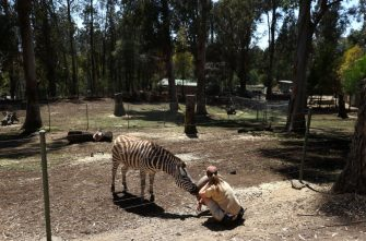 OAKLAND, CALIFORNIA - JULY 01: Animal keeper Amber Paczkowski sits with a zebra at the Oakland Zoo on July 01, 2020 in Oakland, California. The Oakland Zoo is on the brink of permanent closure after being temporarily closed since March  due to the coronavirus COVID-19 pandemic shelter-in-place order. The 100 acre zoo is losing an estimated $2 million a month and has laid off nearly half of its 250 person staff. The zoo is requesting to be designated an outdoor museum so it can reopen like some botanical gardens and regional parks have. (Photo by Justin Sullivan/Getty Images)