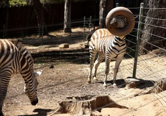 OAKLAND, CALIFORNIA - JULY 01: A zebra pushes its nose through a feeder ring at the Oakland Zoo on July 01, 2020 in Oakland, California. The Oakland Zoo is on the brink of permanent closure after being temporarily closed since March  due to the coronavirus COVID-19 pandemic shelter-in-place order. The 100 acre zoo is losing an estimated $2 million a month and has laid off nearly half of its 250 person staff. The zoo is requesting to be designated an outdoor museum so it can reopen like some botanical gardens and regional parks have. (Photo by Justin Sullivan/Getty Images)