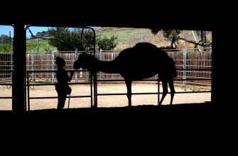OAKLAND, CALIFORNIA - JULY 01: An animal keeper hand feeds a a camel at the Oakland Zoo on July 01, 2020 in Oakland, California. The Oakland Zoo is on the brink of permanent closure after being temporarily closed since March  due to the coronavirus COVID-19 pandemic shelter-in-place order. The 100 acre zoo is losing an estimated $2 million a month and has laid off nearly half of its 250 person staff. The zoo is requesting to be designated an outdoor museum so it can reopen like some botanical gardens and regional parks have. (Photo by Justin Sullivan/Getty Images)