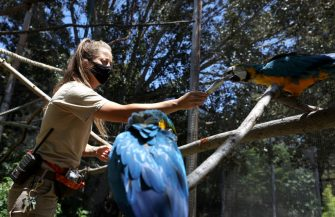 OAKLAND, CALIFORNIA - JULY 01: Animal keeper Aerielle Bohen hand feeds macaws at the Oakland Zoo on July 01, 2020 in Oakland, California. The Oakland Zoo is on the brink of permanent closure after being temporarily closed since March  due to the coronavirus COVID-19 pandemic shelter-in-place order. The 100 acre zoo is losing an estimated $2 million a month and has laid off nearly half of its 250 person staff. The zoo is requesting to be designated an outdoor museum so it can reopen like some botanical gardens and regional parks have. (Photo by Justin Sullivan/Getty Images)