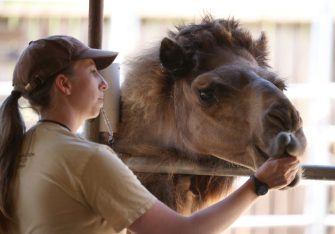 OAKLAND, CALIFORNIA - JULY 01: Animal keeper Amber Paczkowski hand feeds a camel at the Oakland Zoo on July 01, 2020 in Oakland, California. The Oakland Zoo is on the brink of permanent closure after being temporarily closed since March  due to the coronavirus COVID-19 pandemic shelter-in-place order. The 100 acre zoo is losing an estimated $2 million a month and has laid off nearly half of its 250 person staff. The zoo is requesting to be designated an outdoor museum so it can reopen like some botanical gardens and regional parks have. (Photo by Justin Sullivan/Getty Images)