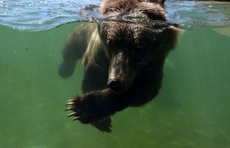 OAKLAND, CALIFORNIA - JULY 01: A grizzly bear swims in a pool at the Oakland Zoo on July 01, 2020 in Oakland, California. The Oakland Zoo is on the brink of permanent closure after being temporarily closed since March  due to the coronavirus COVID-19 pandemic shelter-in-place order. The 100 acre zoo is losing an estimated $2 million a month and has laid off nearly half of its 250 person staff. The zoo is requesting to be designated an outdoor museum so it can reopen like some botanical gardens and regional parks have. (Photo by Justin Sullivan/Getty Images)