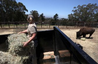 OAKLAND, CALIFORNIA - JULY 01: Animal keeper Lisa Davis prepares to toss a bale of hay as she feeds bison at the Oakland Zoo on July 01, 2020 in Oakland, California. The Oakland Zoo is on the brink of permanent closure after being temporarily closed since March  due to the coronavirus COVID-19 pandemic shelter-in-place order. The 100 acre zoo is losing an estimated $2 million a month and has laid off nearly half of its 250 person staff. The zoo is requesting to be designated an outdoor museum so it can reopen like some botanical gardens and regional parks have. (Photo by Justin Sullivan/Getty Images)