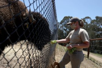 OAKLAND, CALIFORNIA - JULY 01: Animal keeper Alicia Powers hand feeds bison at the Oakland Zoo on July 01, 2020 in Oakland, California. The Oakland Zoo is on the brink of permanent closure after being temporarily closed since March  due to the coronavirus COVID-19 pandemic shelter-in-place order. The 100 acre zoo is losing an estimated $2 million a month and has laid off nearly half of its 250 person staff. The zoo is requesting to be designated an outdoor museum so it can reopen like some botanical gardens and regional parks have. (Photo by Justin Sullivan/Getty Images)