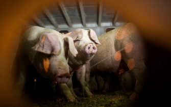 VERNON, CA - SEPTEMBER 26: Pigs that are being given water by animal rights activists are seen inside trucks as they arrive to the Farmer John slaughterhouse on September 26, 2018 in Vernon, California. Twice weekly Pig Vigils draw activists who oppose the slaughter of pigs for food at this facility. (Photo by David McNew/Getty Images)