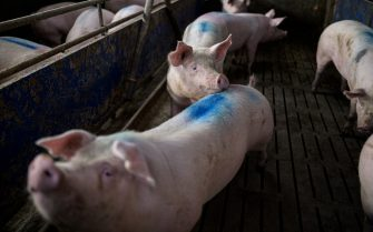 KEMPEN, GERMANY - JULY 02: Pigs stand in a stall at a pig farm on July 02, 2020 near Kempen, Germany. Many hog farms across the state of North Rhine-Westphalia are fearing possible losses due to the temporary closure of several large slaughterhouses due to coronavirus outbreaks among slaughterhouse workers. The biggest outbreak has been at the Toennies plant in Rheda-Wiedenbrueck, where over 1,500 workers out of a workforce of approximately 7,000 have tested positive. So far no date has been set for when the Toennies plant will reopen. (Photo by Lukas Schulze/Getty Images)