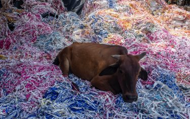 NEW DELHI, INDIA - JULY 14: A cow sits in a pile of trash at a garbage dumping site on July 14, 2020  in New Delhi, India.  With over 900,000 confirmed cases and 23,000 deaths, environmental and health experts have warned that India, which is currently the third worst COVID19-affected country, could face further challenges in tackling the impact of the global pandemic if immediate steps are not taken for the proper disposal of masks, gloves, personal protective equipment and other waste materials. (Photo by Yawar Nazir/Getty Images)