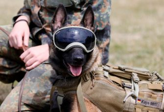 epa08564073 An explosives detection dog poses at School for Service Dogs of the Bundeswehr in Ulmen near Koblenz, Germany, 24 July 2020. In the German Bundeswehr Graefin-von-Maltzan barracks in Ulmen, service dogs are being trained as sniffer dogs for the coronavirus Covid-19.  EPA/RONALD WITTEK