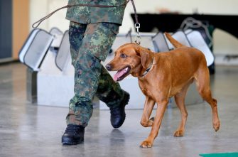 epa08564120 A Coronavirus sniffer dog during a training session at the School for Service Dogs of the Bundeswehr in Ulmen near Koblenz, Germany, 24 July 2020. In the German Bundeswehr Graefin-von-Maltzan barracks in Ulmen, service dogs are being trained as sniffer dogs for the coronavirus Covid-19.  EPA/RONALD WITTEK