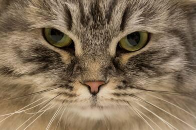 Coronavirus Uk, gatto domestico positivo al Covid-19: è il primo caso