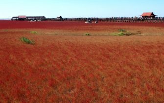 This picture taken on September 30, 2012 shows the Red beach scenic area in Panjin, northeast China's Liaoning province. The beach gets its name from its appearance, which is caused by a type of sea weed that flourishes in the saline-alkali soil.  CHINA OUT     AFP PHOTO        (Photo credit should read AFP/AFP/GettyImages)