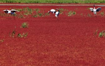 This picture taken on September 30, 2012 shows cranes at the Red beach scenic area in Panjin, northeast China's Liaoning province. The beach gets its name from its appearance, which is caused by a type of sea weed that flourishes in the saline-alkali soil.  CHINA OUT     AFP PHOTO        (Photo credit should read AFP/AFP/GettyImages)