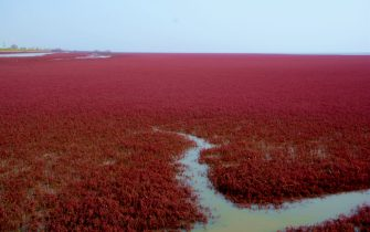 Panjin, CHINA-September 26 2016: (EDITORIAL USE ONLY. CHINA OUT) The red beach starts turning red in Panjin, northeast China¡¯s Liaoning, September 26, 2016. The red beach isn¡¯t covered in sand, instead, it¡¯s covered by a type of sea weed. As autumn comes, the red beach embraces its most beautiful period for visiting, turning vividly red.  (Photo by ) *** Please Use Credit from Credit Field *** (Sipa Asia / IPA/Fotogramma, Panjin - 2016-09-27) p.s. la foto e' utilizzabile nel rispetto del contesto in cui e' stata scattata, e senza intento diffamatorio del decoro delle persone rappresentate