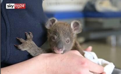 Cucciolo di koala salvato e adottato da uno zoo in Australia. VIDEO