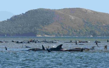 STRAHAN, AUSTRALIA - SEPTEMBER 21: Hundreds of pilot whales are seen stranded on a sand bar on September 21, 2020 in Strahan, Australia. More than 200 pilot whales are stranded on a sandbank at Macquarie Harbour on the west coast of Tasmania, with rescuers desperately trying to save the whales as more than 90 are feared dead. (Photo by The Advocate - Pool/Getty Images)