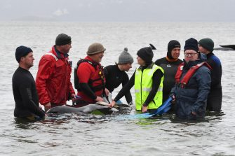 epa08687628 People try to rescue stranded pilot whales at Macquarie Harbour, Tasmania, Australia, 22 September 2020. A large rescue mission to save approximately 270 pilot whales has begun. According to reports 90 whales have perished.  EPA/BRODIE WEEDING / POOLL AUSTRALIA AND NEW ZEALAND OUT