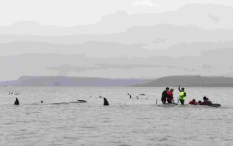 epa08687624 People try to rescue stranded pilot whales at Macquarie Harbour, Tasmania, Australia, 22 September 2020. A large rescue mission to save approximately 270 pilot whales has begun. According to reports 90 whales have perished.  EPA/BRODIE WEEDING / POOLL AUSTRALIA AND NEW ZEALAND OUT