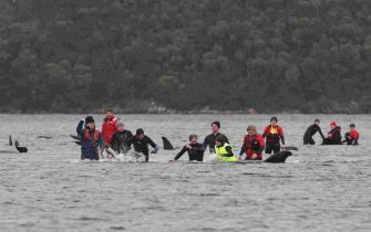 epa08687626 People try to rescue stranded pilot whales at Macquarie Harbour, Tasmania, Australia, 22 September 2020. A large rescue mission to save approximately 270 pilot whales has begun. According to reports 90 whales have perished.  EPA/BRODIE WEEDING / POOLL AUSTRALIA AND NEW ZEALAND OUT