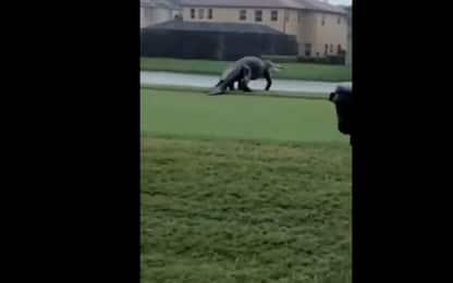 Usa, alligatore stile Jurassic Park in campo da golf in Florida. VIDEO